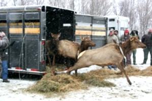 Elk Released at Royal Blue WMA