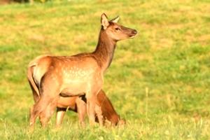 Dr. David Sloas Hatfield Knob Elk Collection